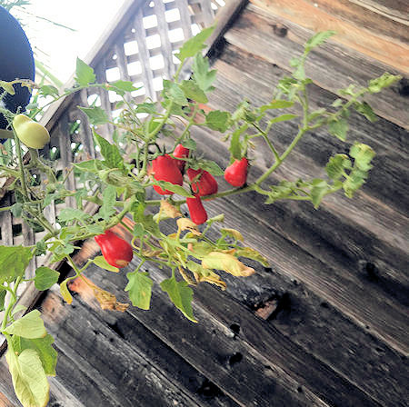 building tomato holder